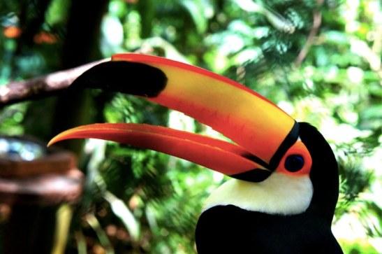 Le célèbre Toucan - Parc Guira Oga Puerto Iguazu